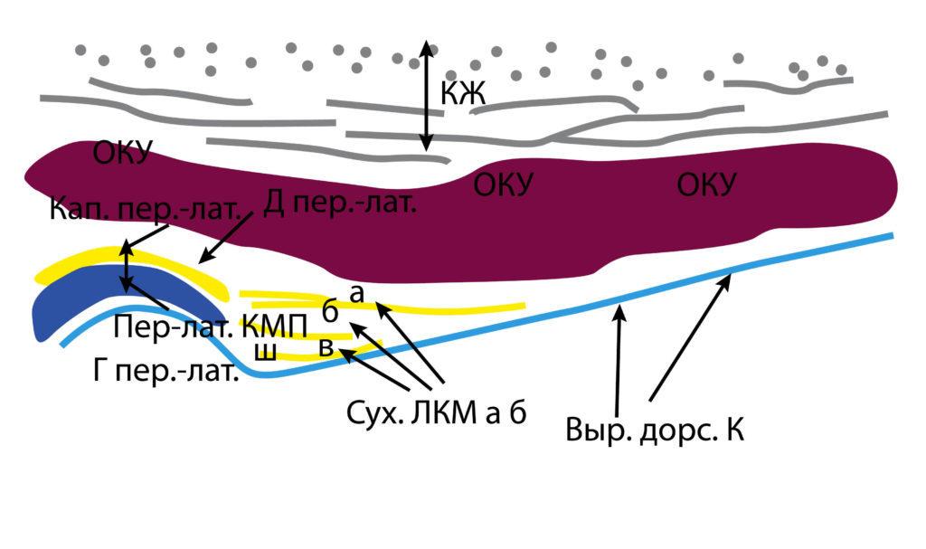 Рис. 7б. КЖ — кожа, подкожно-жировая клетчатка, поверхностная мышечно-апоневротическая система. ОКУ — околоушная слюнная железа. Д пер.-лат. — переднелатеральный фрагмент суставного диска. Кап. пер.-лат. — переднелатеральный фрагмент капсулы. Пер-лат. КМП — переднелатеральное капсульно-мыщелковое пространство. Г пер.-лат. — переднелатеральный фрагмент головки мыщелкового отростка. Сух. ЛКМ (а и б) — сухожилия латерально крыловидной мышцы. Выр. дорс. К — дорсальный край вырезки нижней челюсти.