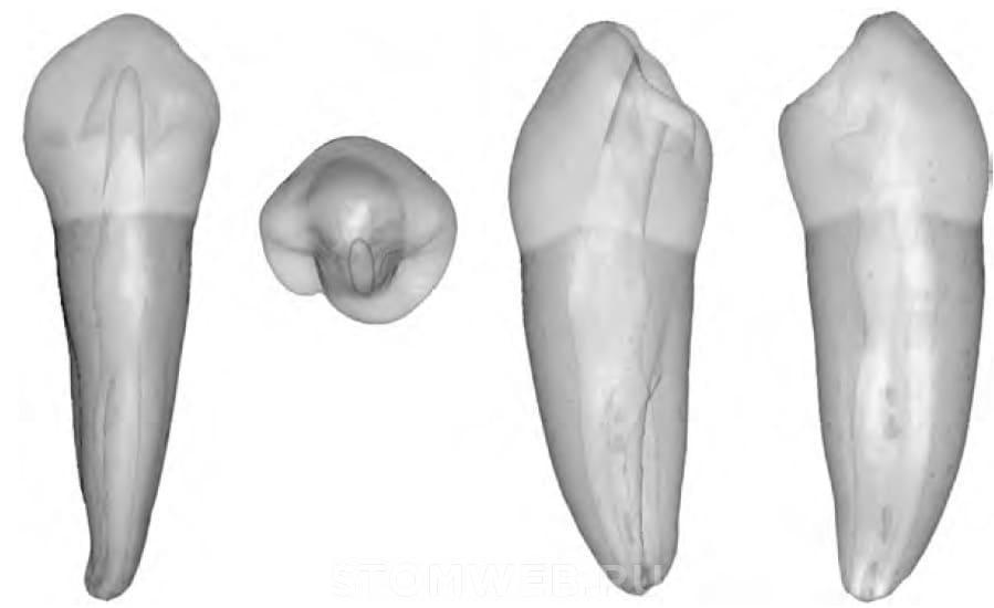 премоляры нижней челюсти