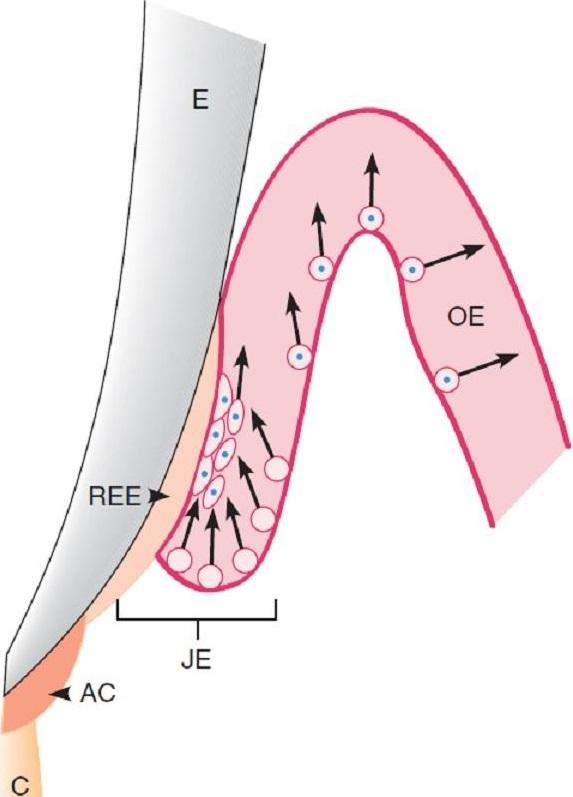 Соединительный эпителий